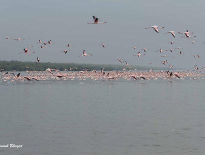2016 Thane Creek Flamingoes