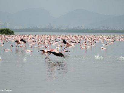 2016 Thane Creek Flamingoes e
