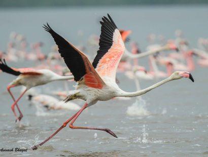 2016 Thane Creek Greater Flamingo f