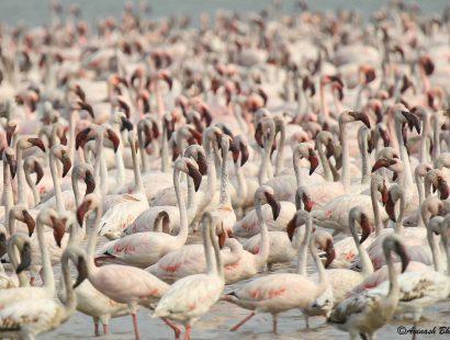 2016 Thane Creek Lesser Flamingo g
