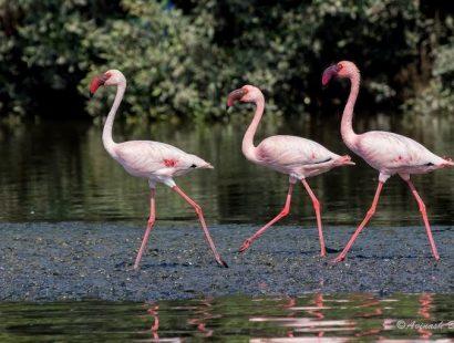 2016 Thane Creek lesser flamingo h