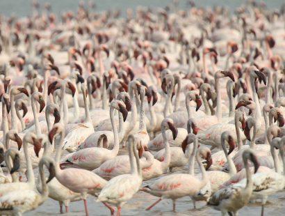 Lesser Flamingo AB2