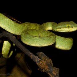 11. Bamboo Pit Viper – Phansad