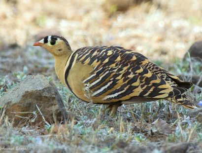17.Painted Sandgrouse – Bhigwan