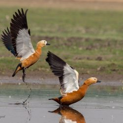 18. ruddy shelduck  – Bhigwan