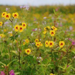 22. Smithia Flower – Kaas Pathar
