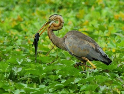 28. Purple Heron – Thane Creek