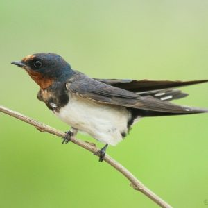 29. Barn Swallow – Thane Creek