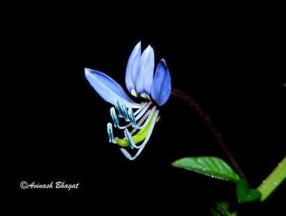 5. Fringed Spider Flower, Manpada