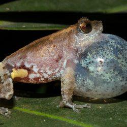 12. Bombay Bush Frog – Phansad