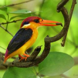 13.1 Oriental Dwarf Kingfisher – Phansad