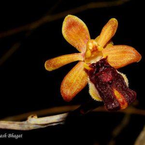 2. Bee Orchid , Yeoor