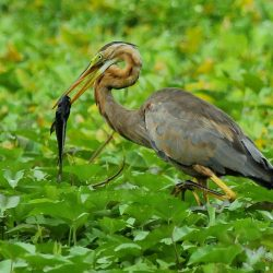 28. Purple Heron – Thane Creek