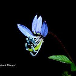 5. Fringed Spider Flower, Manpada